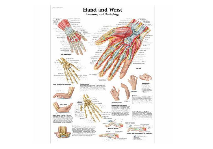 Healthlink Holdings Limited Hand And Wrist Chart Anatomy And