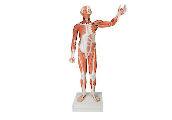 3B Scientific - Human Anatomy (general)